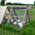 Chickens in portable coop, or chicken tractor