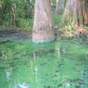 Algal bloom in Tallahassee area lake