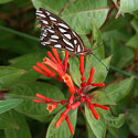 butterfly on firebush