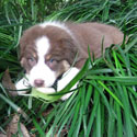 The webmaster's dog as a puppy, eating bromeliads