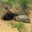 Gopher tortoise entering its burrow