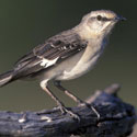 Northern mockingbird, the state bird of Florida