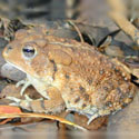 A Southern toad
