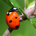 Closeup of ladybug by Christopher Libert