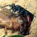 Larra wasp about to lay eggs on mole cricket