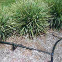 Drip irrigation hoses watering landscape plants