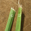 Examples of grass cut improperly by dull blade