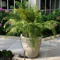 Potted fern with drip irrigation installed