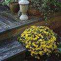 A container of bright yellow flowers on a front step