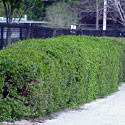 Privet hedge along sidewalk