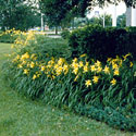 A neatly planted bed of daylilies
