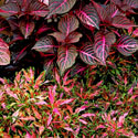 Blazin Rose iresine and Oompah coleus are both hot pink