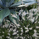 A spiny succulent next to fuzzy ornamental grass