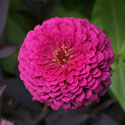 Hot pink zinna flower