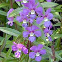 Photo of angelonia courtesy of Floridata.com