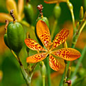 Blackberry Lily flower by Tom Murphy VII