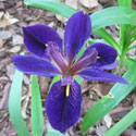Blue flag iris is a good plant for rain gardens