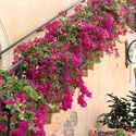 Pink bougainvillea on staircase