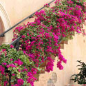 Pink bougainvillea growing on a staircase wall