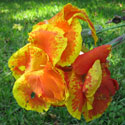 Yellow and orange canna flower