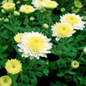 Chrysanthemum plant with yellow flowers