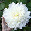 Giant white dahlia flower