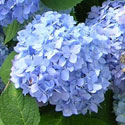 Blue French hydrangea flower
