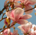 Pink bloom of a Japanese Magnolia