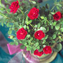 Red miniature roses