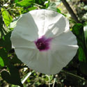Morning glories are drought-resistant