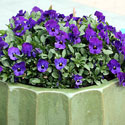 Purple pansies in a green container