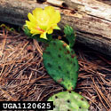 Small prickly pear with yellow flower