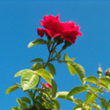 A red rose against a bright blue sky