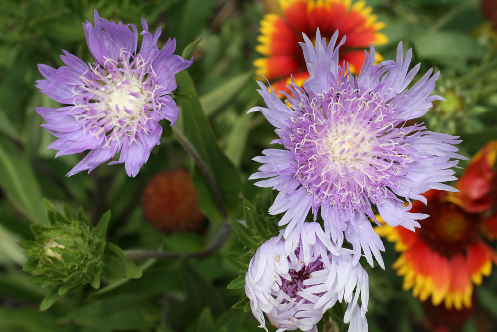 Gardening in a Minute Photos - Stokes' Aster
