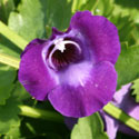 Torenia or wishbone flower