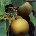 Photo of Asian pears by Michael Micheletti