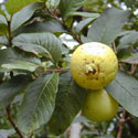Common, or apple, guava