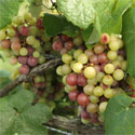 Muscadine grapes photo by Ian Maguire