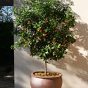 Citrus tree growing in terra cotta container