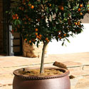 Citrus tree in container