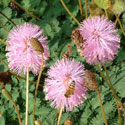 Pink powderpuff mimosa flowers