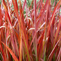 Red ornamental grass