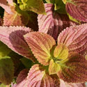 Coleus with pinkish leaves