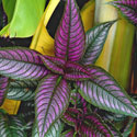 Persian shield plant