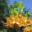 Florida Flame Azalea, courtesy of Floridata.com