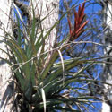 Native bromeliad, the cardinal airplant