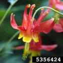 Wild red columbine flower