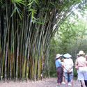 Clumping bamboo towering over a group of women