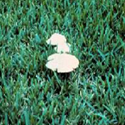 white mushroom on a green lush lawn