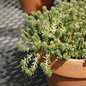 Potted sedum